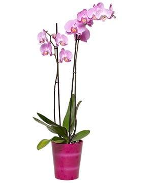 orchidee-papillon