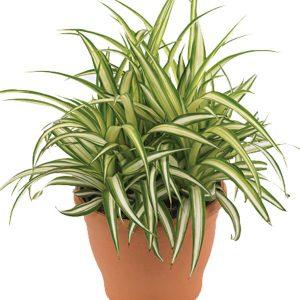 plante-araignee
