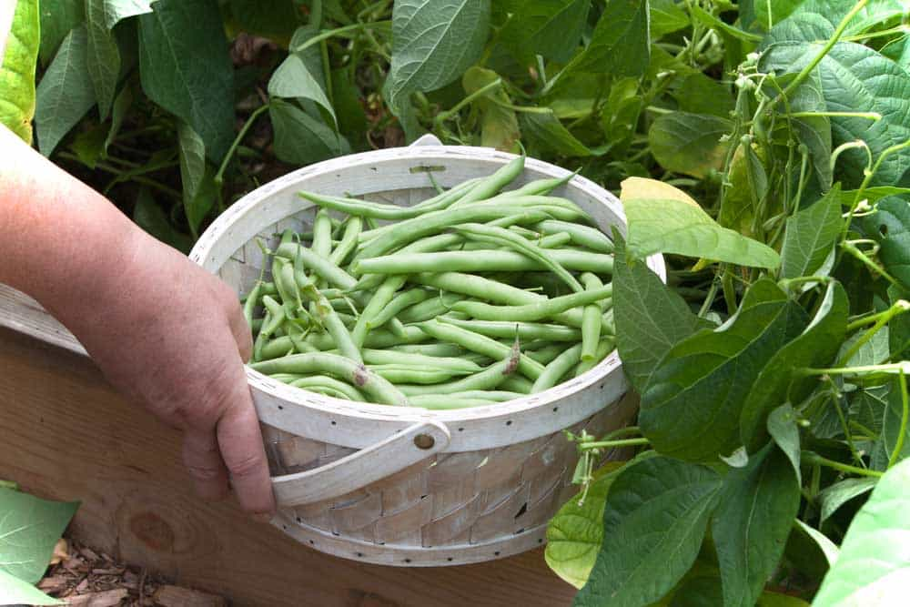 potager haricot