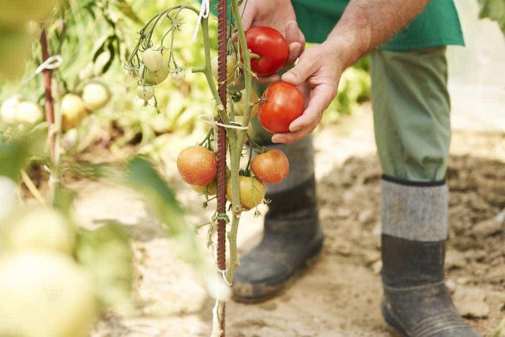 potager tomate