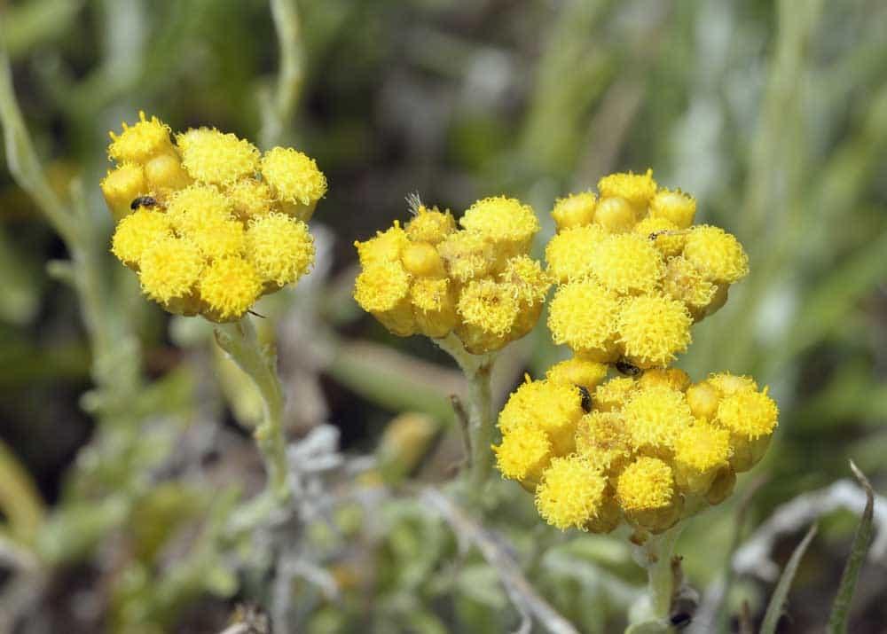 fleur hélichryse