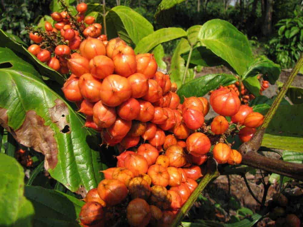 guarana plante