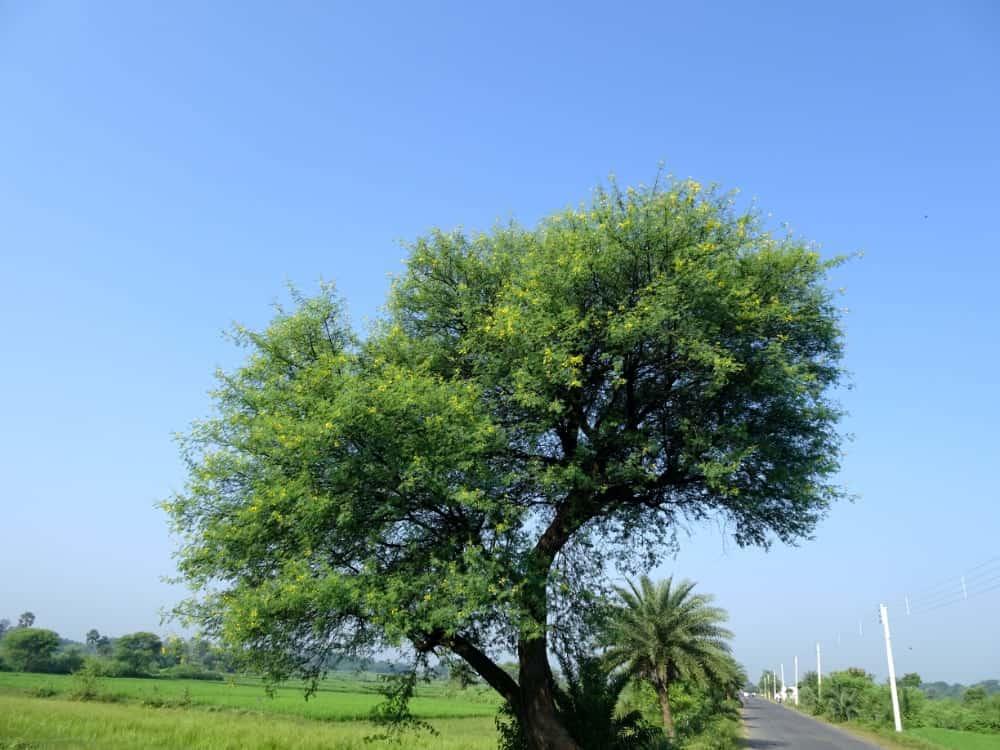 arbre gomme arabique